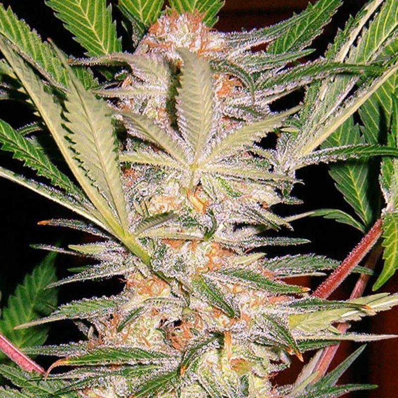 CORONA PLASTICO 250 mm